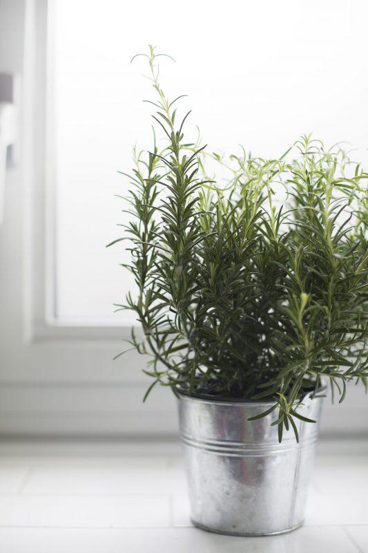 Mosquito-repellent plants: Scented geranium