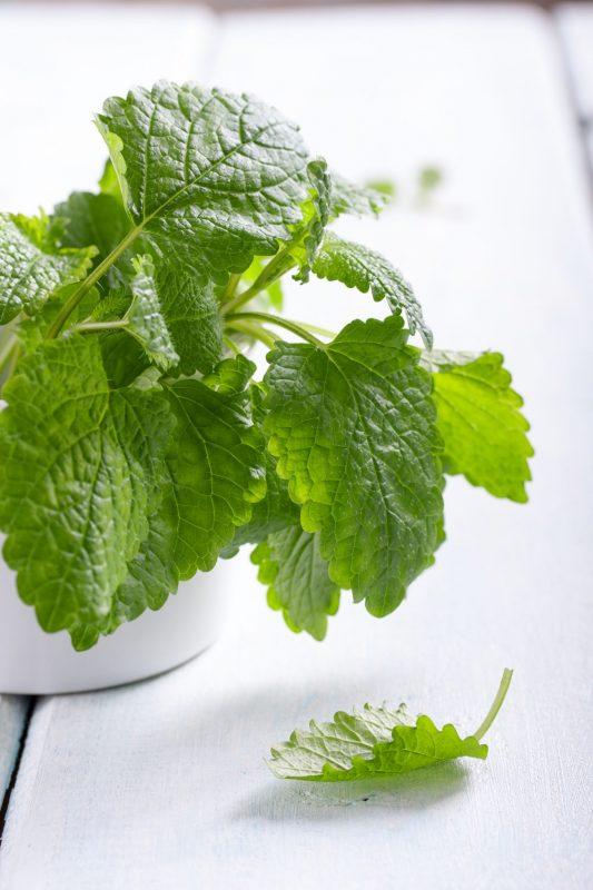 Mosquito-repellent plants: Lemon balm