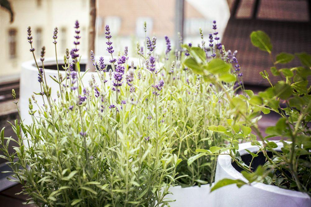 Mosquito-repellent plants: lavender
