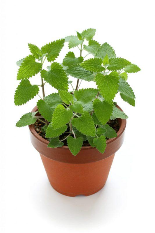 Mosquito-repellent plants: Catnip