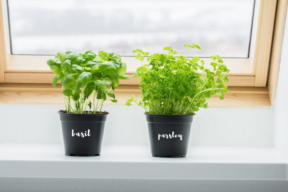 Mosquito-repellent plants: Basil