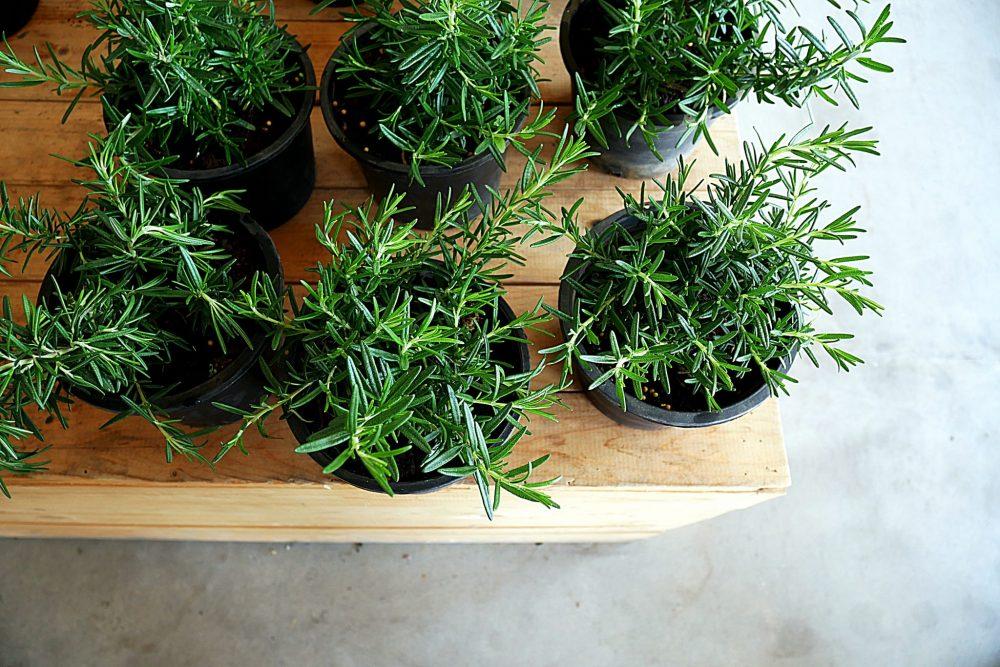 Mosquito-repellent plants: Rosemary