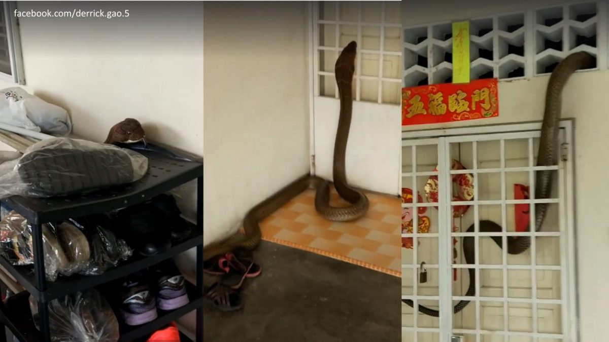 Man in Batu Pahat Understandably Freaks Out When 8 foot Cobra Enters Home