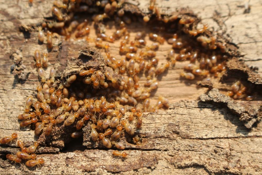 Subterranean termites swarming a piece of wood